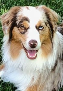 Aussie again dog