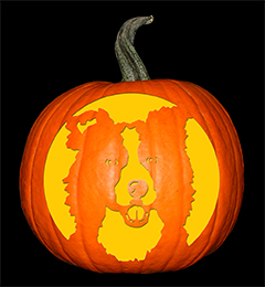 Border Collie Pumpkin72